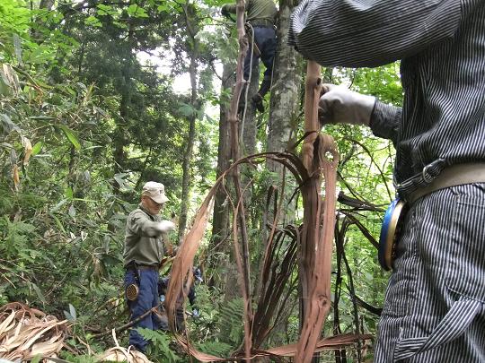 山葡萄皮の採取は夏のほんの短い期間